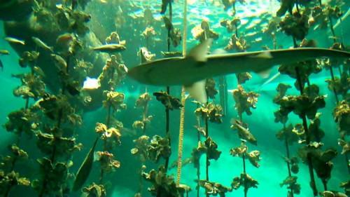 Display of Oyster Farm at the new Miyajima Aquarium